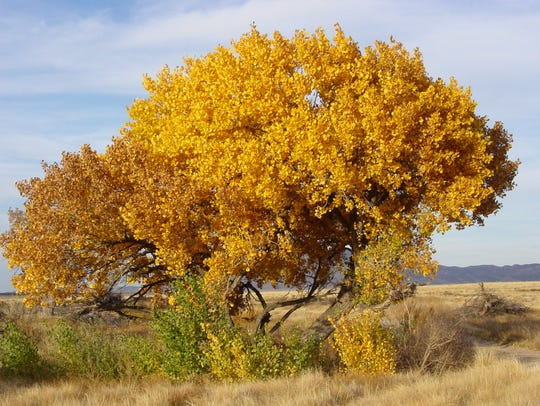 A single cottonwood tree, gone bright yellow in the
