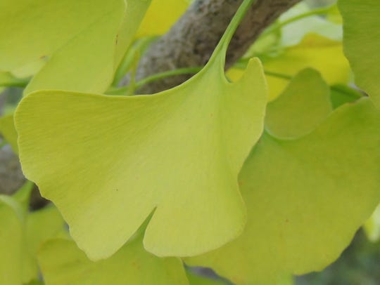 In lime green and lemon yellow, the fan-shaped leaves