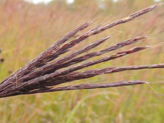 With its unusual, decorative seed plumes and colorful
