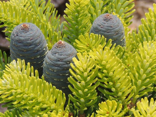 The regional convention of the American Conifer Society,