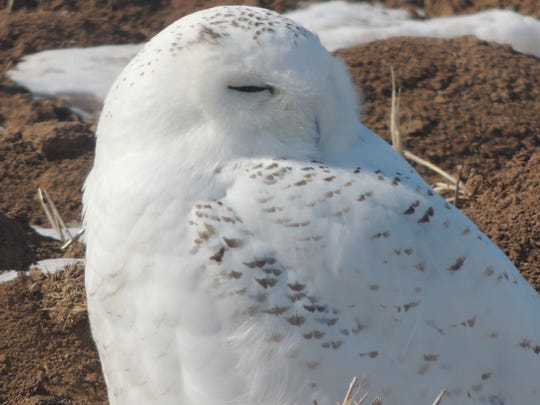 A snowy owl similar to this one was shot at Wittman