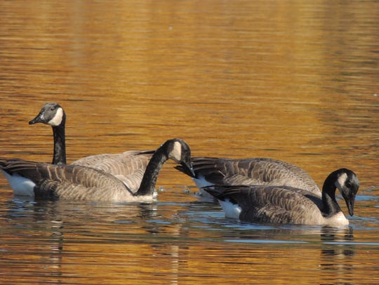 Canada geese peak in numbers at Horicon and other area