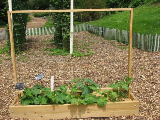 635944274493390691-Raised-bed-trellis-cucumber-1.JPG