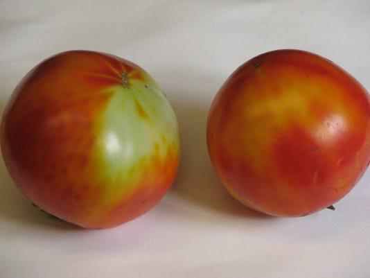 636065972065440623-08-15-2016-Blotchy-ripening-tomato.JPG
