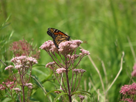 636235316179574567-02-27-2017-Photo-2-Butterfly-on-Joe-Pye-Weed-Flower.JPG