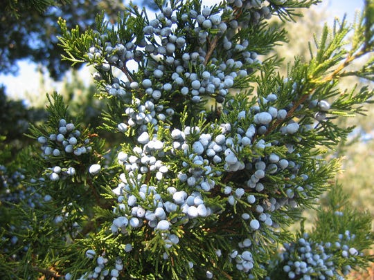 Eastern red cedar (Juniperus virginiana) is an evergreen