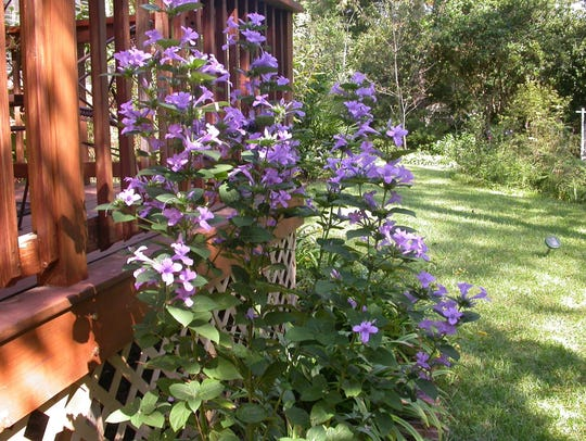 The Philippine violet is attractive as an accent plant