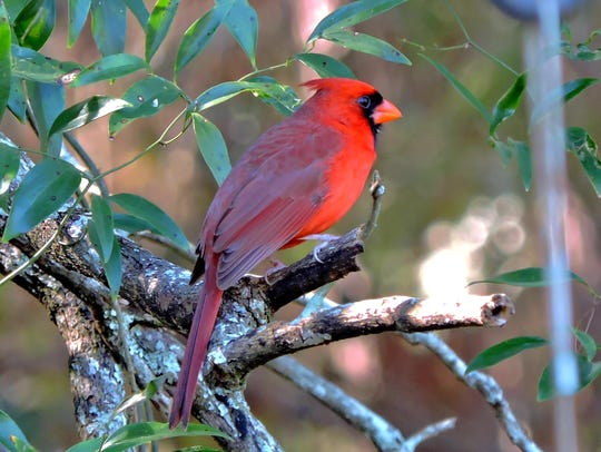 Count your cardinals at the Great Backyard Bird Count