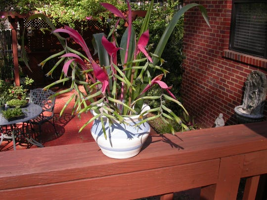 Billbergia Bromeliad, Queen's Tears, grows in containers, trees, or flowerbeds.  A Swedish biologist brought it from Central America in 1826.