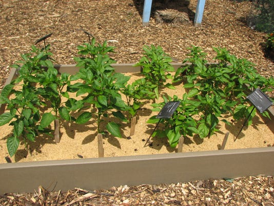 636646731614636192-Rice-hull-mulch-pepper-bed.jpg