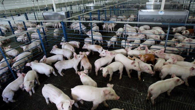 Maxwell Farms' Unionport Nursery in Randolph County houses about 19,000 piglets, 40 to a pen. The piglets are kept for six weeks before being shipped to contract farms where they are fattened for market.