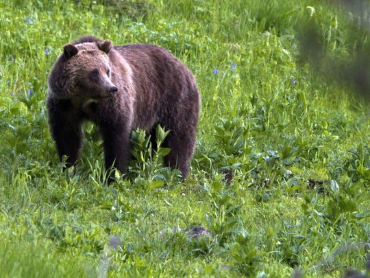 A grizzly bear roams near Beaver Lake in Yellowstone National Park, Wyo. Idaho, Montana and Wyoming are planning limited public hunting of the region's roughly 700 bears.