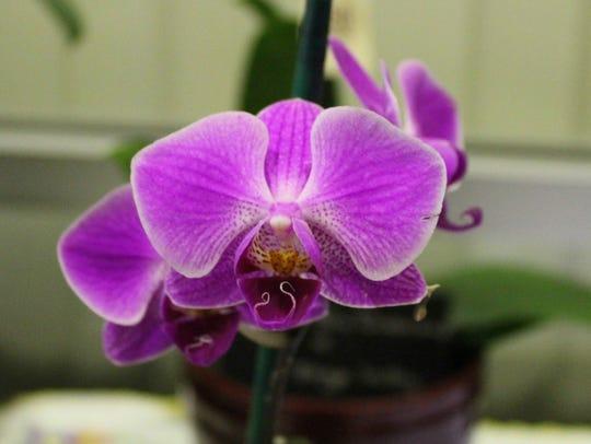 Phalaenopsis orchid flower.