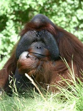 Robin, a 40-year-old orangutan who had lived at the Denver Zoo for 20 years, died Friday.
