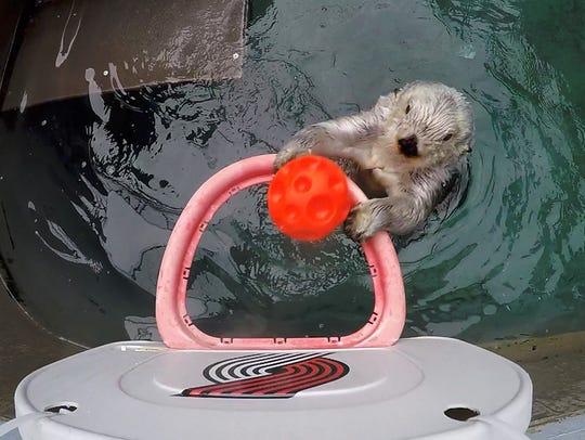 Eddie, the Oregon Zoo's geriatric sea otter, turned