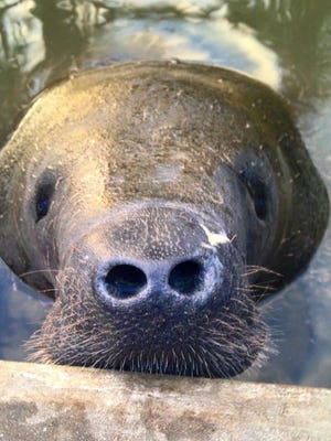 Meet Twiggy, a manatee healing from a lung infection.