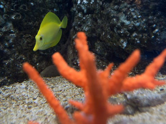 A Yellow Tang fish swims near a 3D printed piece of