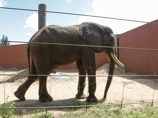 Louie the African elephant at the Toledo Zoo on Tuesday,