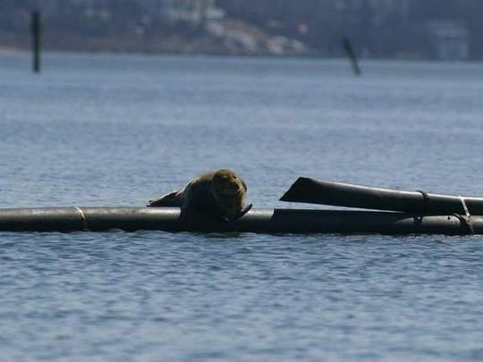 A harbor seal suns on a dredge pipe on Manasquan River in March, 2014.
