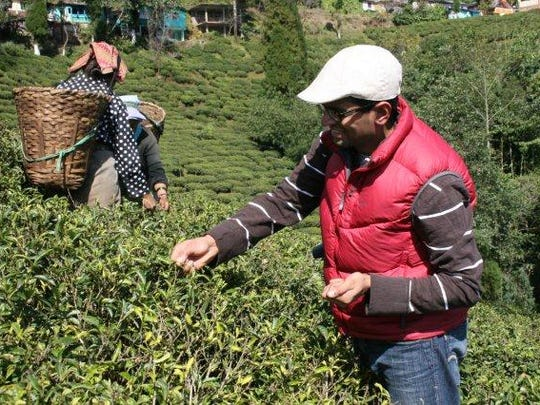Davidson Organics co-owner Kunall Patel plucks tea leaves in Selimbong Small Farmer Tea Garden in Darjeeling, India.