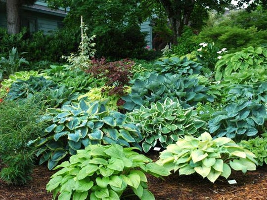 Sebright Gardens sells more than 900 hostas online in addition to other shade plants, but people can also visit their display gardens in Salem.