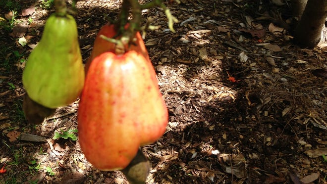 Cashew apples growing on Madeline Bohannon's tree