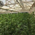 Duplica Salinas cantidad de permisos de cannabis