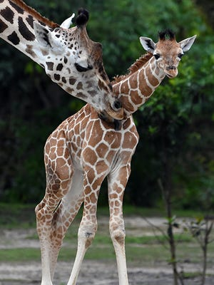Wesley the giraffe was born at Zoo Miami in May. He was euthanized Tuesday after he lodged his head between two poles and sustained a spinal injury, Zoo Miami said in a statement.