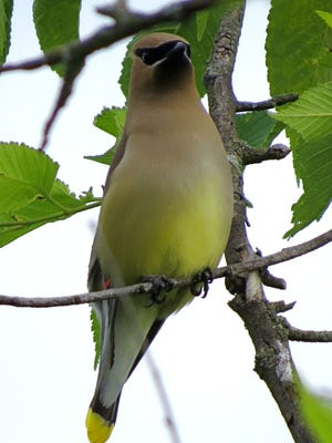 A cedar waxwing perches on a branch near Bells Lane in Staunton, Va., on Wednesday, May 31, 2017.