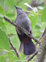 A gray catbird perches on a branch near Bells Lane