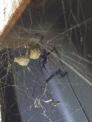 Guam Customs and Quarantine Agency found brown widow spiders in a container from Majuro, and later fumigated that container with the help of the University of Guam's resident entomologist.
