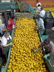 Workers in an orange packing house in Haines City, Fla., on March 23, 2000.