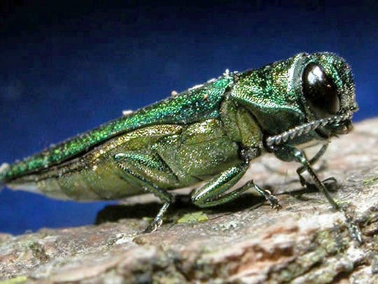 Emerald ash borer was first found in New York in 2009