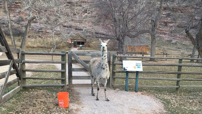 A llama that had been wandering Bobcat Ridge Natural Area for months was captured Sunday, Dec. 3, 2017.