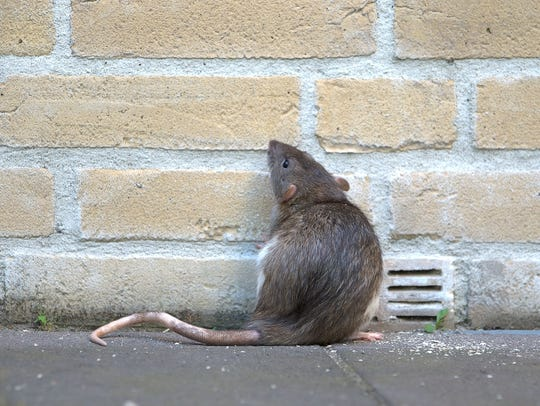 A rat against a brick wall, looking and standing up.