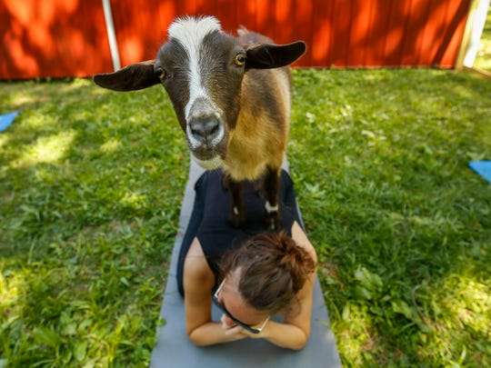 Emily Hall smiles as a goat stands on her back during Goats and Yoga on Herding Dogs Farm in Rogersville on Saturday, May 19, 2018.