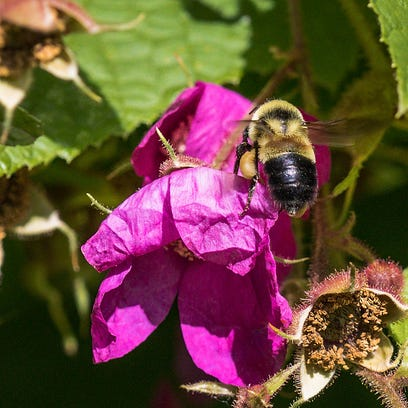 UW arboretum workshop tracks endangered bees with photos