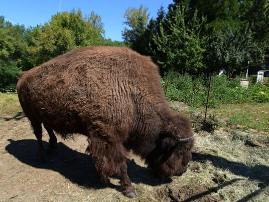Helen, a 14-year-old bison, roams around her pasture in NE Salem on Friday, Aug. 8, 2014. Neighbors say passersby often stop to take pictures or feed her treats.