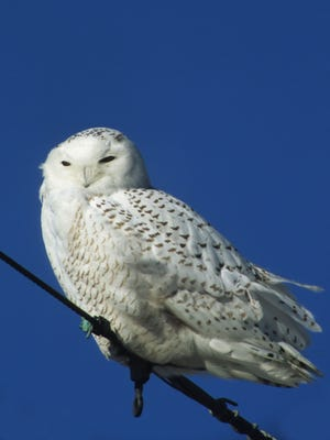 Snowy owls are making their way through Ohio this year in a high number.