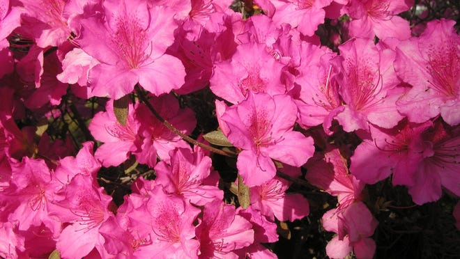 Be sure to plant azaleas with the top of the root ball slightly above soil level. The same goes for many other trees and shrubs that can planted in spring.