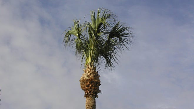 Here's a seriously over pruned sabal palm. When it starts to look like a pineapple, that's not good.