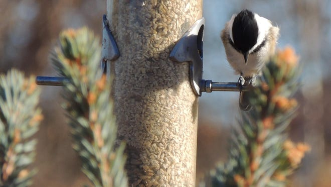 One of the most beloved backyard birds and the most adaptable to any feeder style, everyone enjoys watching chickadees in action.