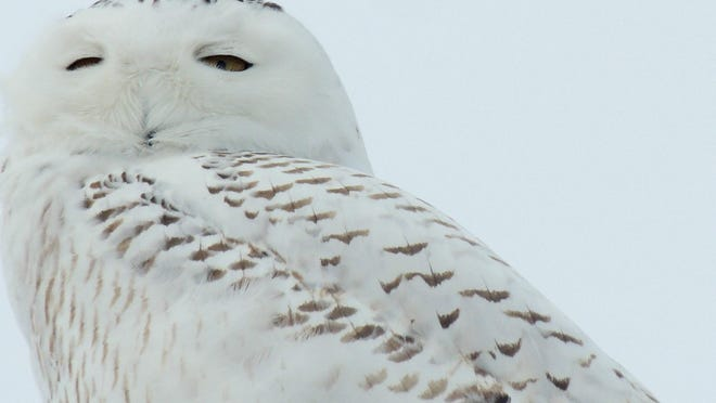 Birds of prey of many kinds are often spotted along Wisconsin roads and highways, including the breathtaking Snowy Owl.