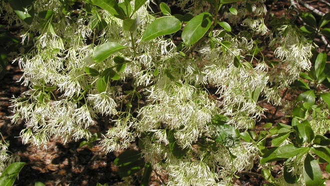 Fringetree is a small growing deciduous tree that produces white fringe-like flowers in the spring before the foliage emerges.