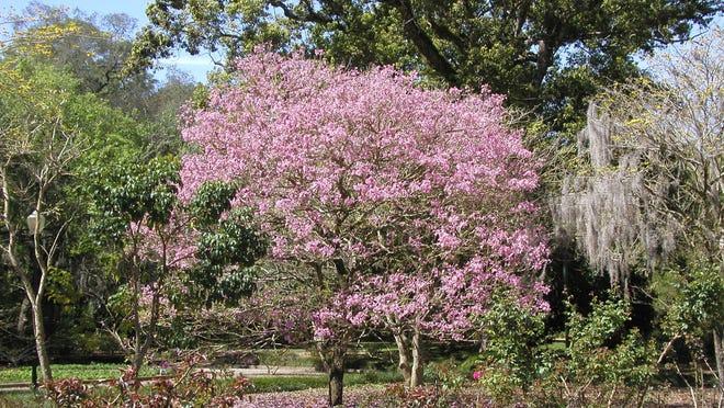 Purple trumpet trees (Tabeuia impetiginosa)