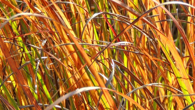 Fiery in fall, little blue stem transforms quickly after first frost to bright red and orange. ROB ZIMMER/Post-Crescent Media.