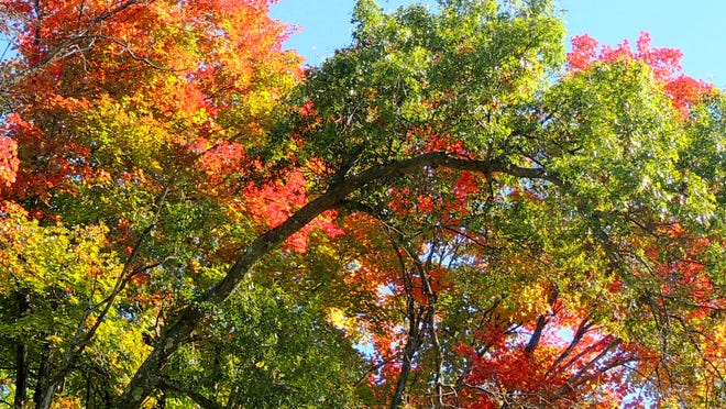 Along the edges of Collins Marsh, the striking maples, hickories and oaks blaze with autumns amazing colors.