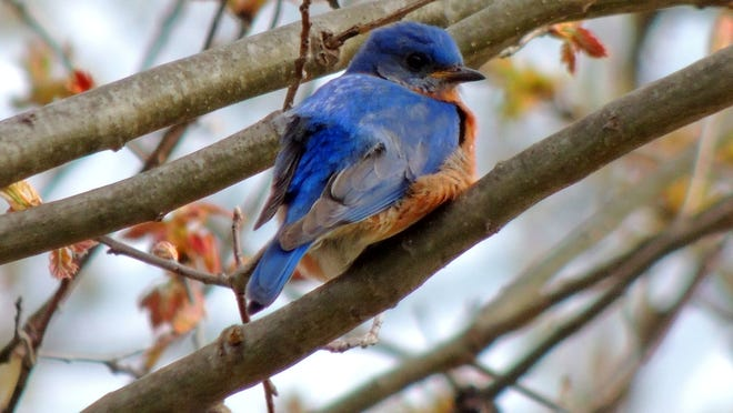 """The eastern bluebird is a colorful bird of open grasslands and the forest edge, nesting in man-made nest boxes along """"bluebird trails"""" maintained in many areas locally."""