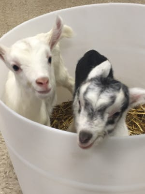 This pair of dairy goats will soon join the milking herd to help produce goat cheese for LaClare Farms in Malone.