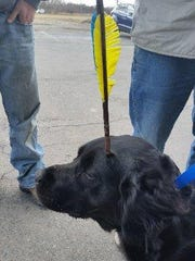 Gemma, a flat-coated retriever wandered around for